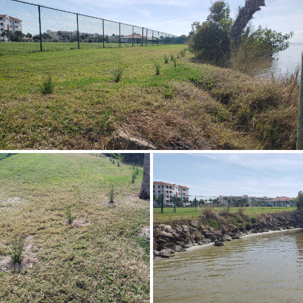 photos of new grass plants along the banana river