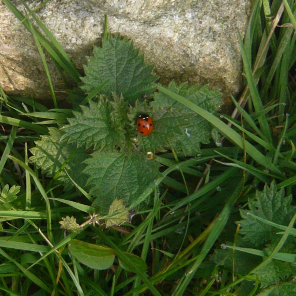 ladybird on a nettle leaf in grass, next to a rock