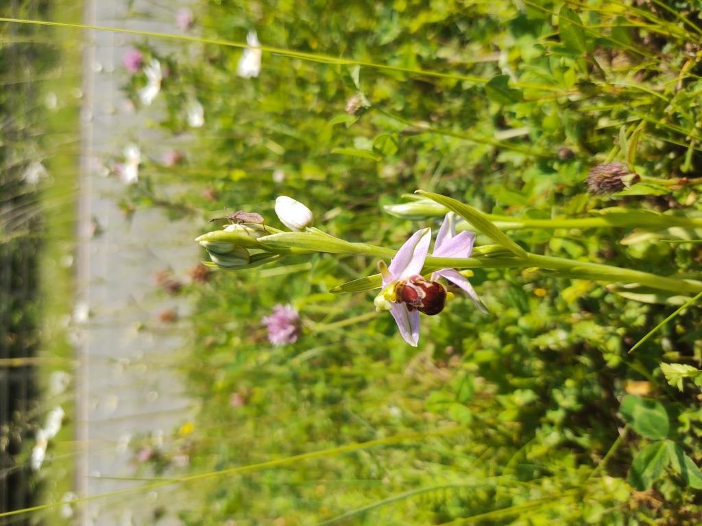 wildflower in grass verge 1