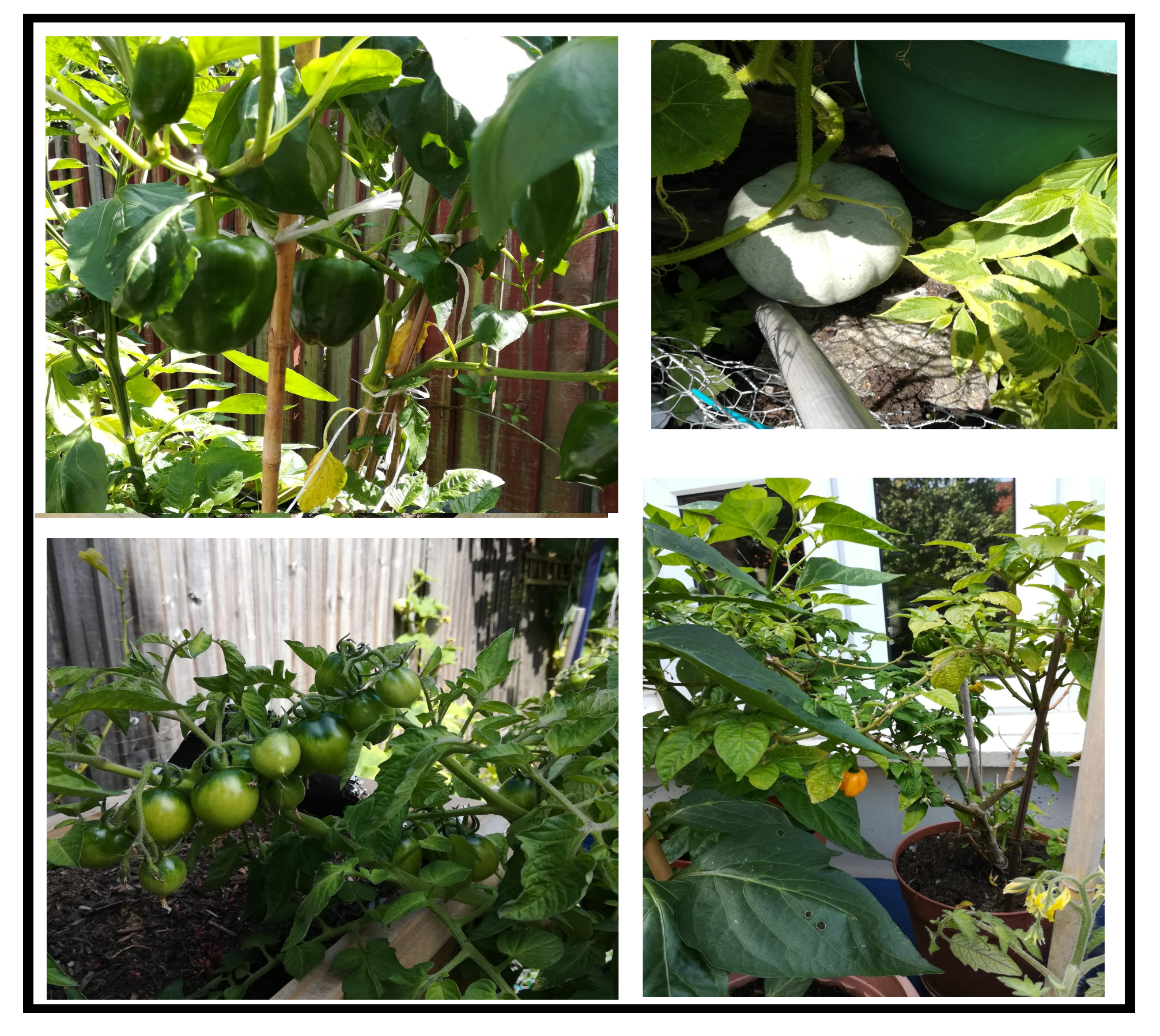 Vegetables growing - tomatoes, green peppers, scotch bonnet and pumpkins