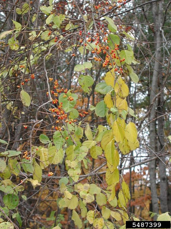 Oriental bittersweet showing golden leaves.