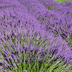 Flowering Lavender Plants by Karen Blaha via Flickr