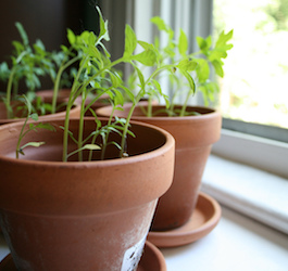 Small Plants in Clay Pots Next to Window