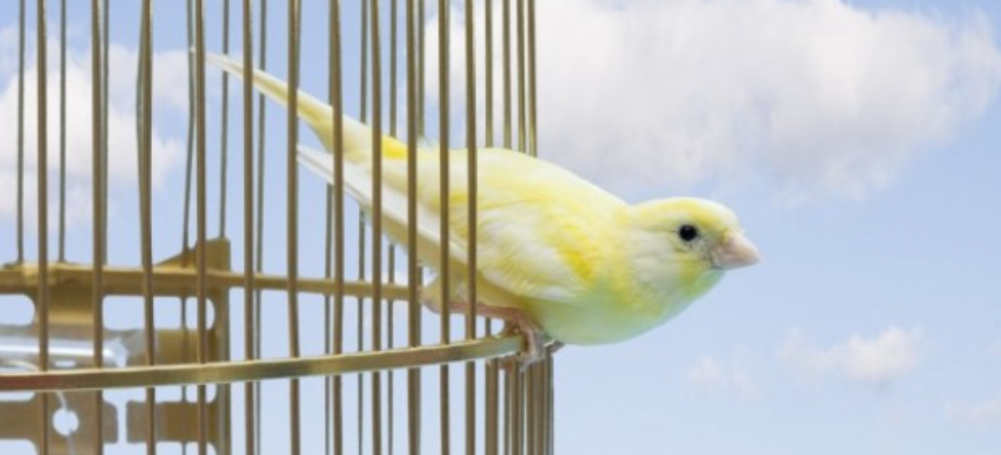 Yellow bird about to jump from cage