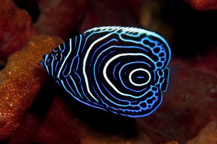 Reacción-difusión en un pez