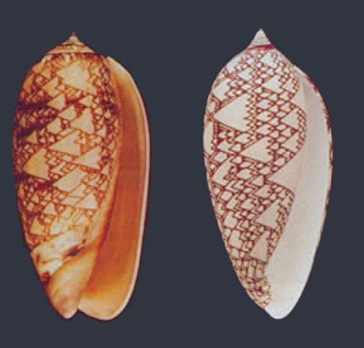 Reacción-difusión en las conchas marinas