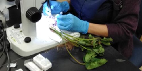 Penn State Plant Disease Clinic diagnostician, Jennie Mazzone, analyzes a strawberry sample. IMAGE: JENNIE MAZZONE