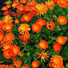 photograph of bright orange flowers