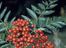 Photo of Rowan berries