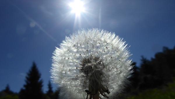 Image: Dandelion seed head in the sun,GordonRichardson