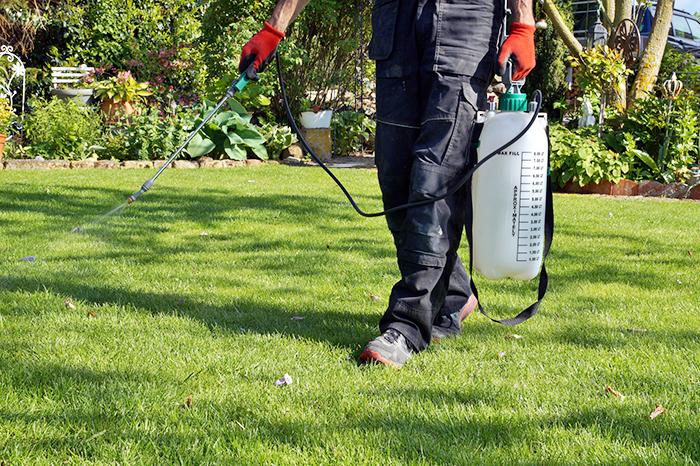 Spraying spring lawn weeds