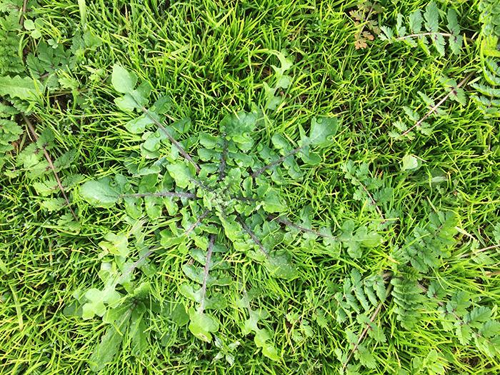 Autumn lawn weeds
