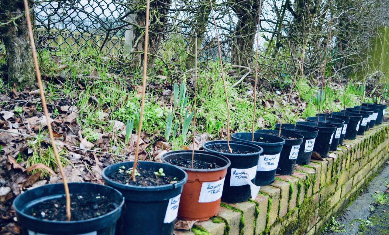 young Rowan trees in pots