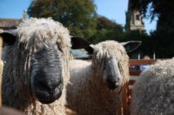 Masham Sheep Fair - Wensleydale Sheep