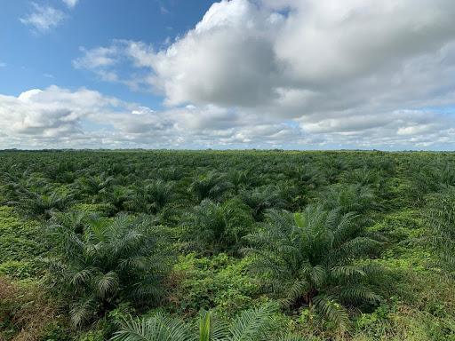 Uumbal plam plantation