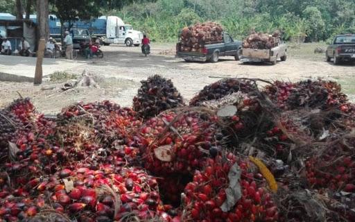 Palm oil harvest