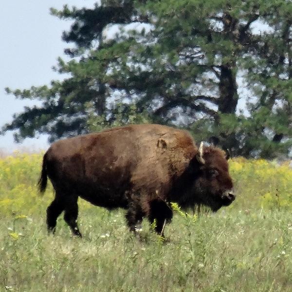 one lone bison walking through long grass