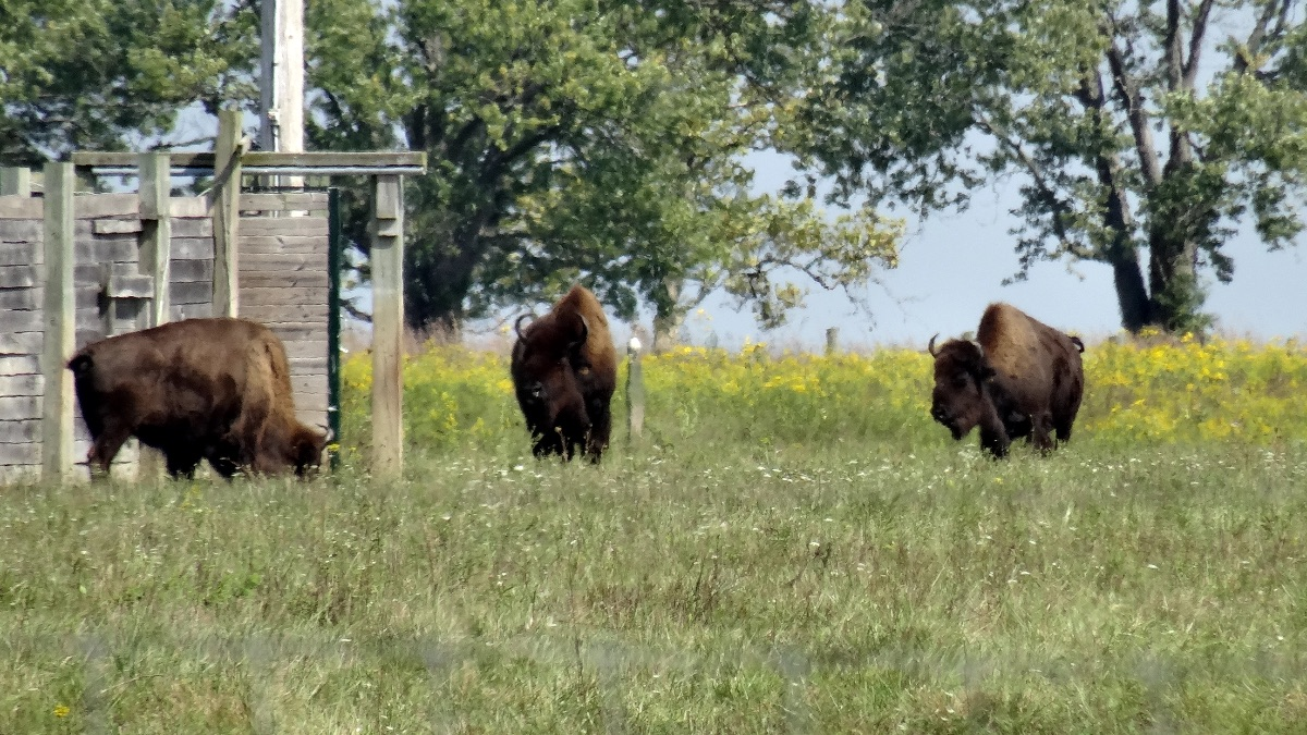 three bison grazing in the grass next to a fence, trees, and yellow flowers