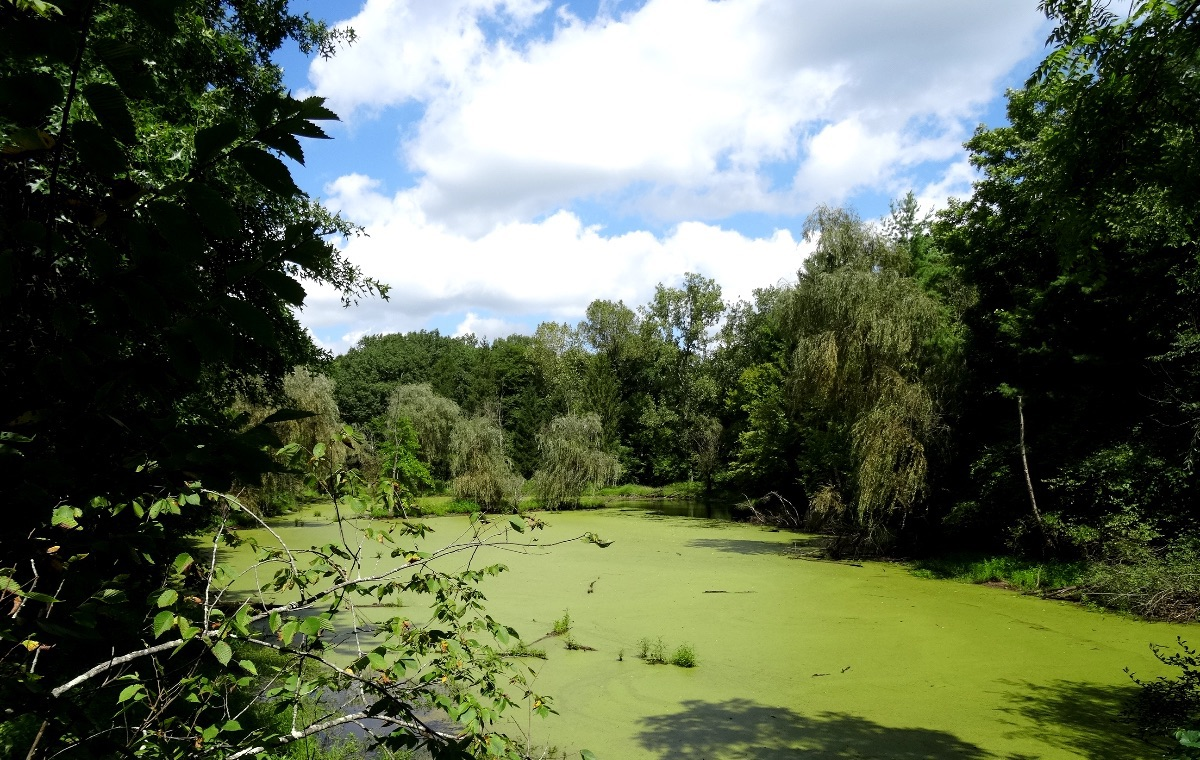 looking over an algae covered lake surrounded by trees
