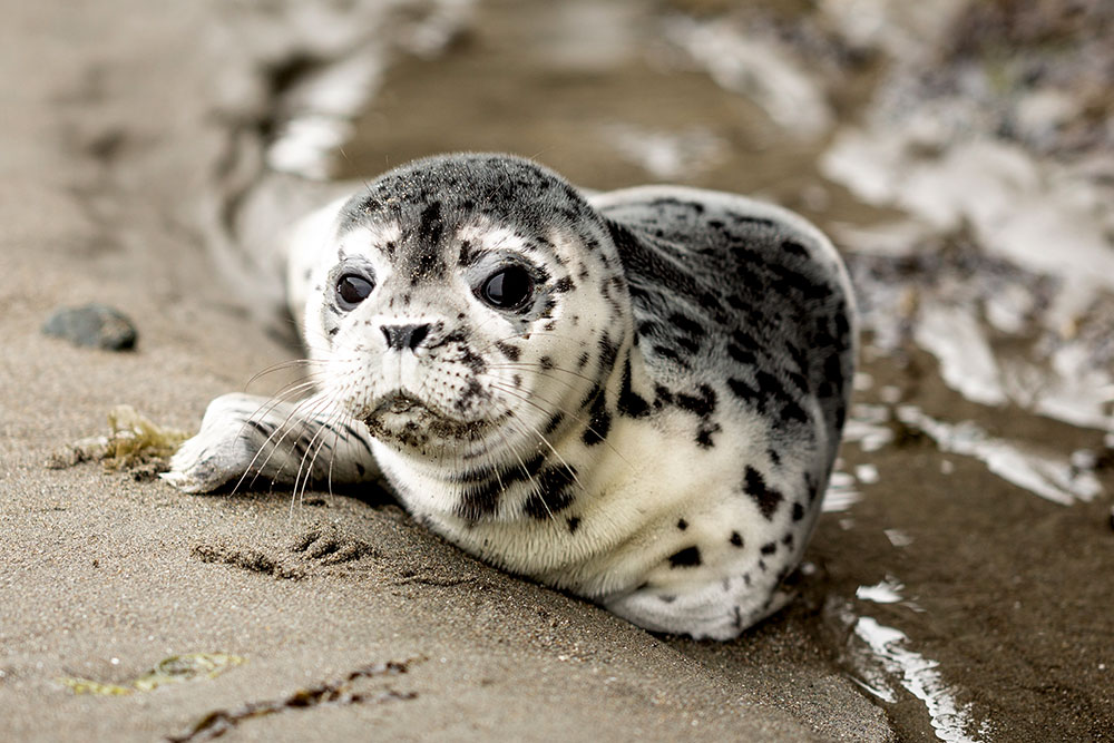 A small seal pup with spotted fur is lying on the beach next to the water.  It's most likely a Pacific harbor seal pup. It has big dark eyes and looks straight into the camera.