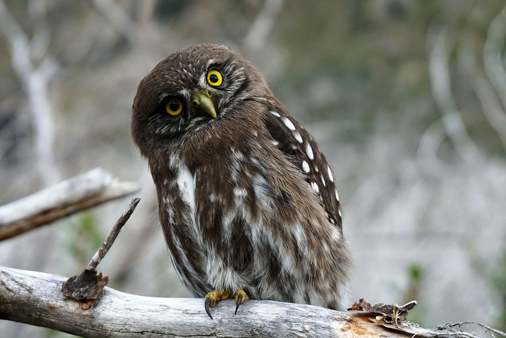 A brown owl with white spots is sitting on a grey old branch. It's tilting its head to the left and looks curiously forward with bright yellow eyes.