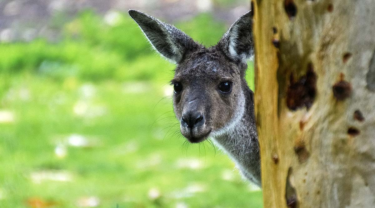 A small kangaroo is peaking out behind a large tree. It looks shy and curious and have dark open eyes and both ears pointing forward.