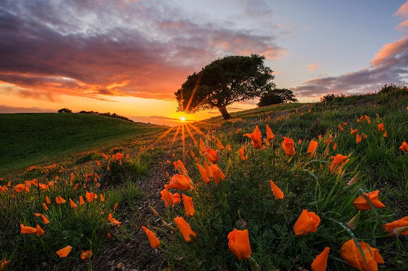 sunset after a rain in California Poppy covered hills in Fremont, CA