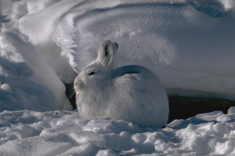 picture of a snowshoe hare in the snow