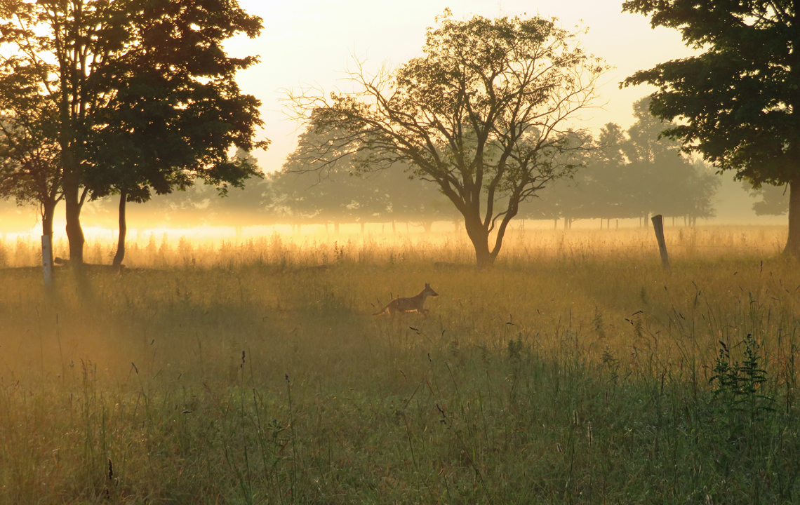 Coyote and sunrise at the community pasture
