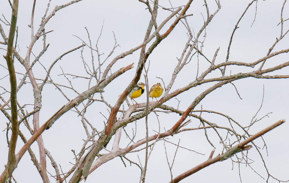 Eastern meadowlark adult and young