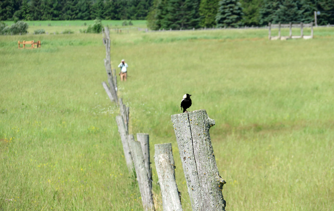 Male bobolink perched on fence post