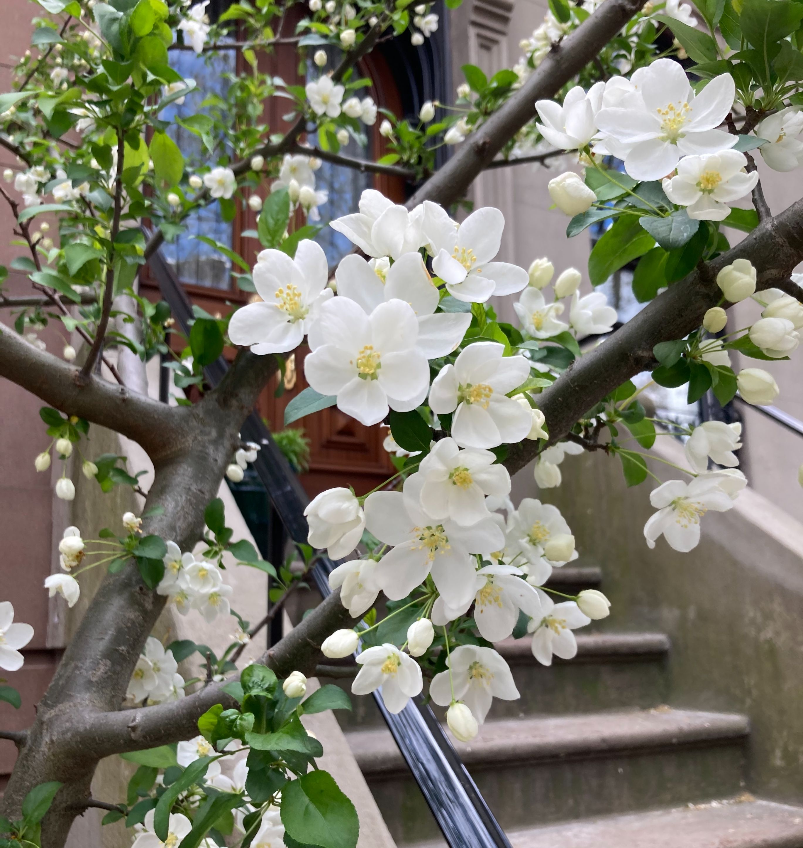 White cherry blossoms with a Brooklyn brownstone stoop in the background