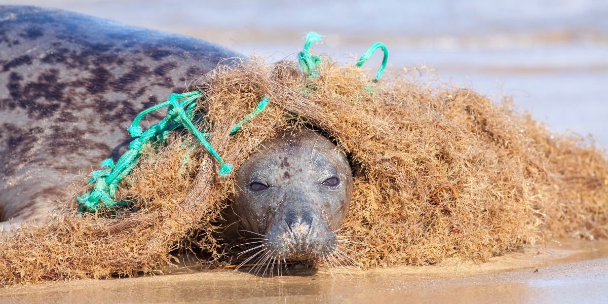 Seal caught in net