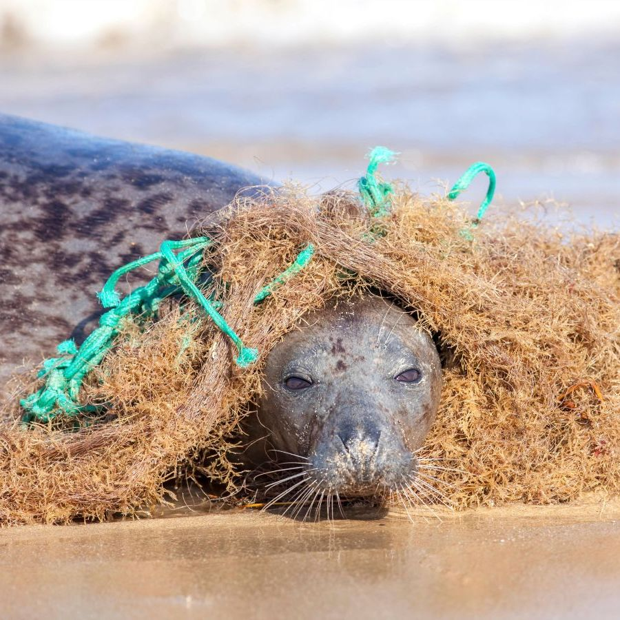 Seal caught in fishing net