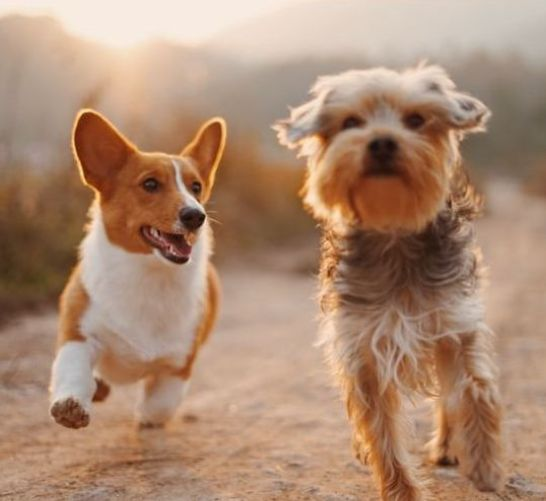 (pictured: Off-leash dogs at play)