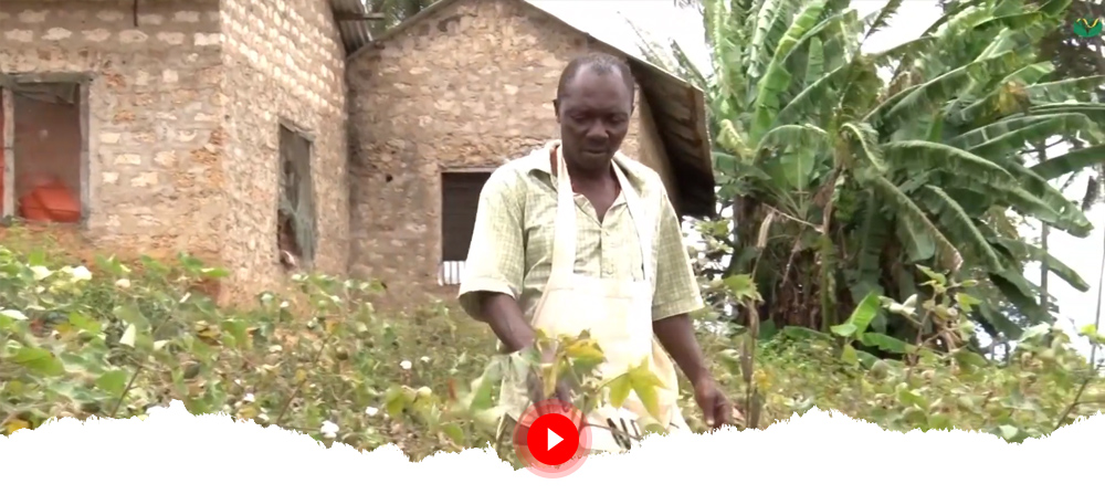 Bt Cotton Renewing Farmer Hopes in Kenya