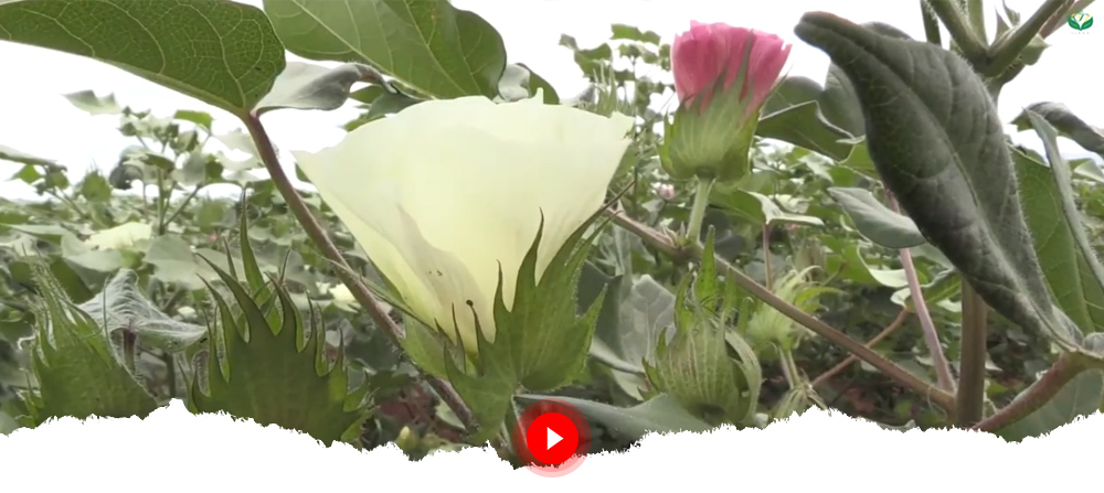 Bt cotton: A Game Change for Malawian Cotton Farmers