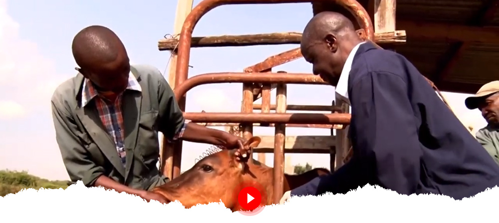 Kenyan Scientists Developing Recombinant Vaccine for Contagious Bovine Pleuropneumonia