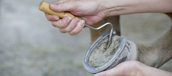 Close-up photo of a person picking out a hoof.
