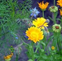 candula and borage flowers