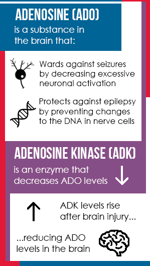 A graphic which illustrates the relationship between adenosine and adenosine kisase.