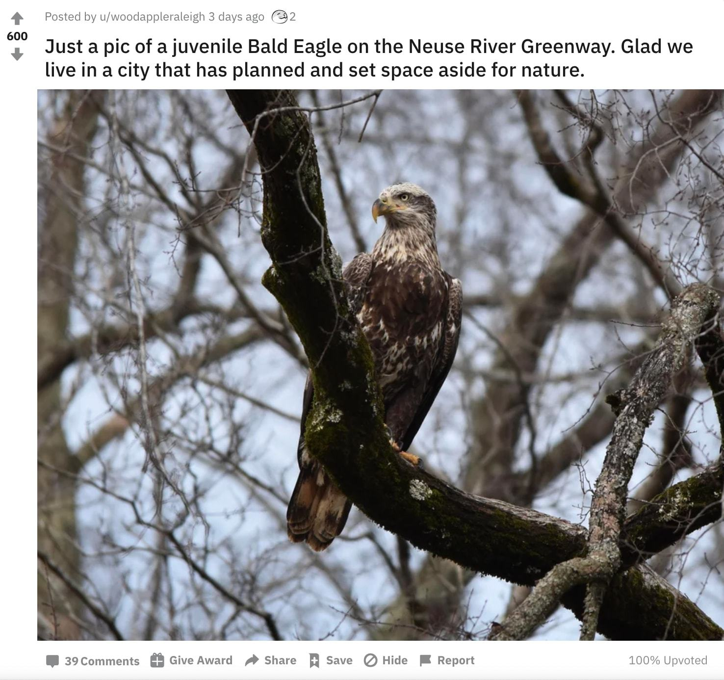 Juvenile bald eagle photo