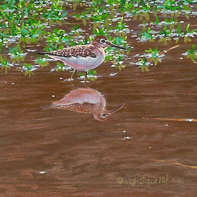 Solitary Sandpiper by Wes Siegrist