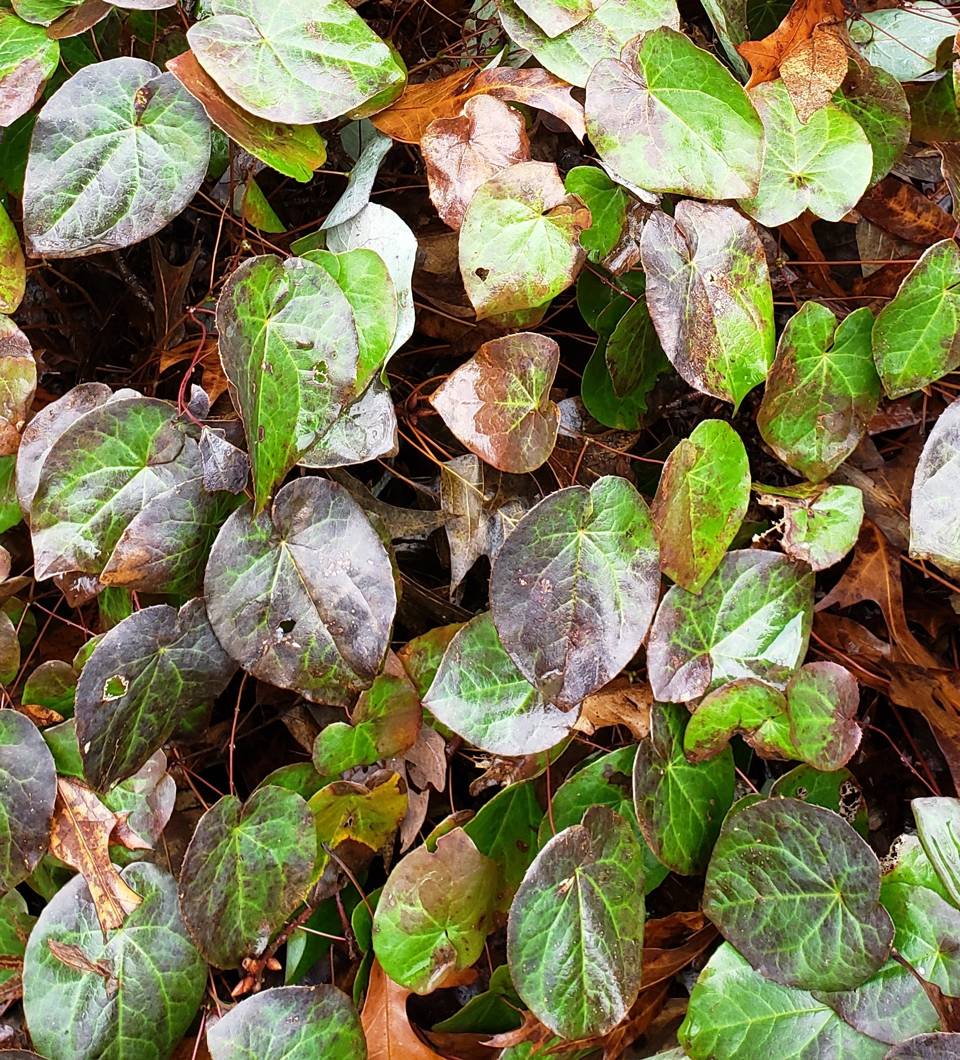 Epimedium is an evergreen groundcover for shade