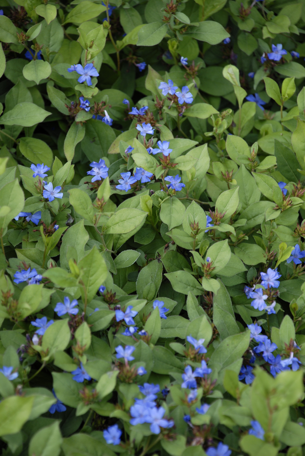 Creeping Blue Plumbago, Ceratostigma plumbaginoides, makes a lovely groundcover