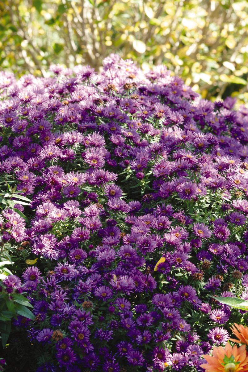 Aster 'Purple Dome' is a compact perennial that blooms in fall