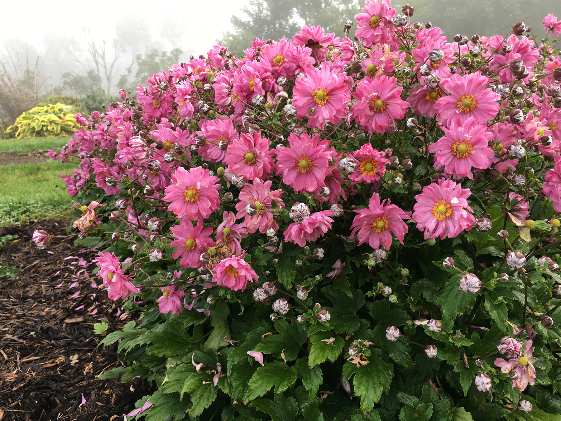 Japanese anemone 'Fall in Love Sweetly' has a compact habit