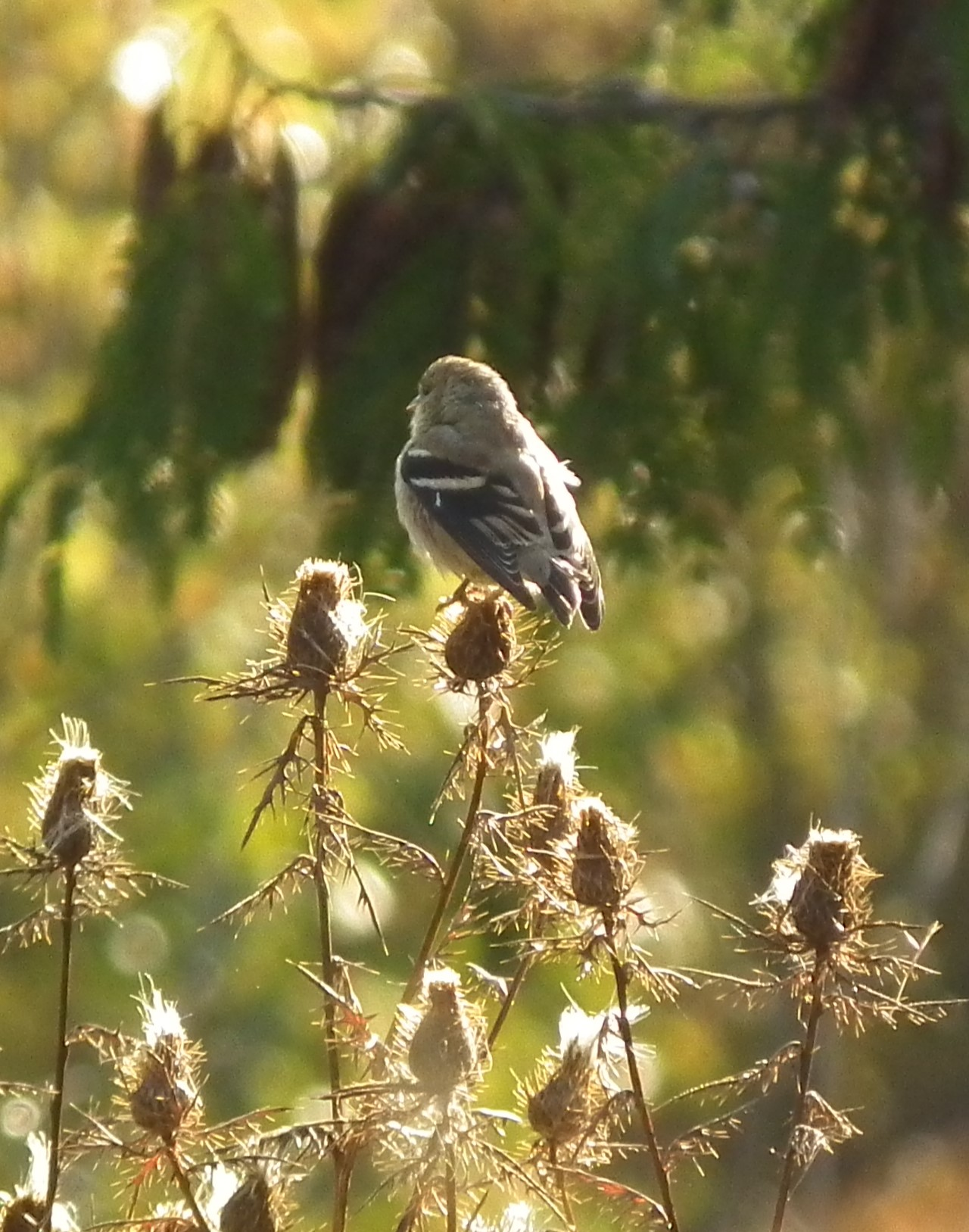 goldfinch perched on thistle seedheads