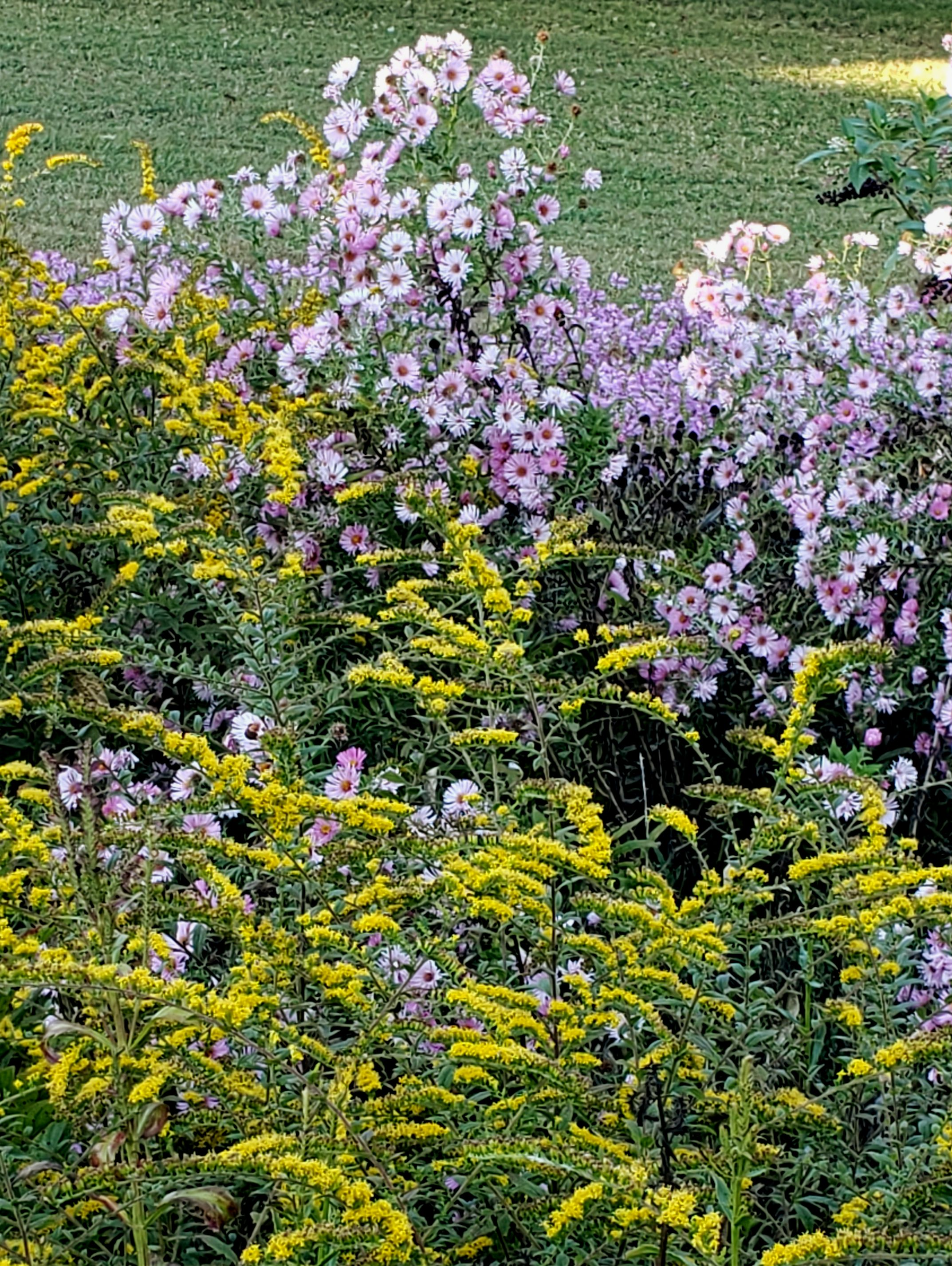 Native perennial asters and solidago bloom in the fall garden