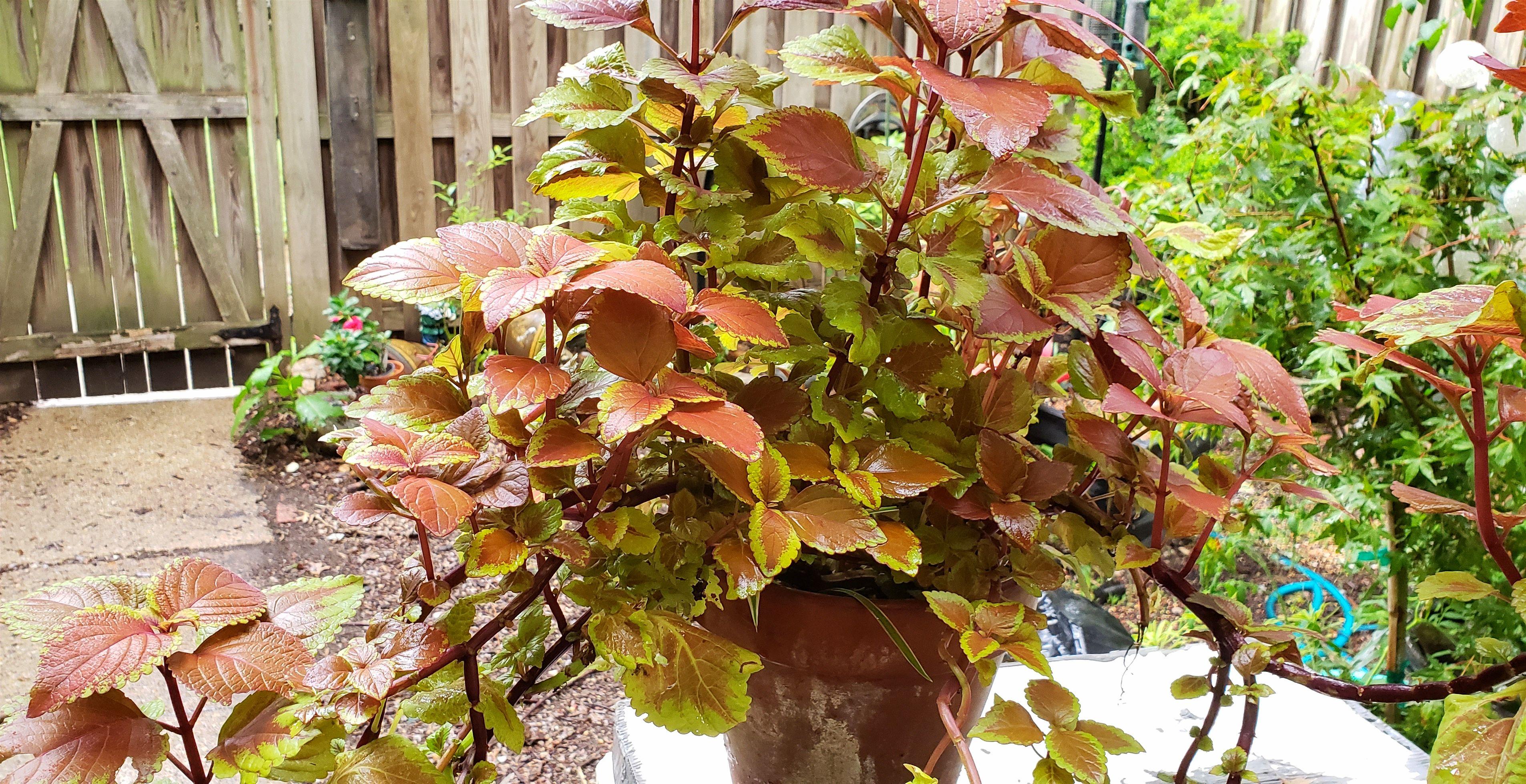 Coleus plant before trimming